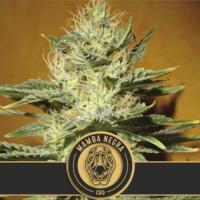 Mamba Negra CBD Feminised Cannabis Seed | Blim Burn Seeds