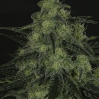 Black Valley Feminised Cannabis Seeds