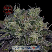 Black Widow Feminised Cannabis Seeds | Positronics