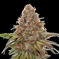 Blackberry Gum Auto Feminised Cannabis Seeds   Seed Stockers