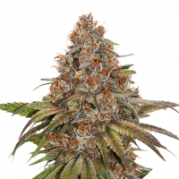Blackberry Gum Auto Feminised Cannabis Seeds | Seed Stockers