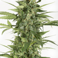 Blue Cheese Auto Feminised Cannabis Seeds - Dinafem Seeds