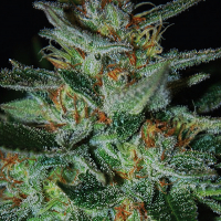 Blue Cheese Feminised Cannabis Seeds | Expert Seeds