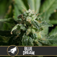Blue Dream Feminised Cannabis Seeds | Blim Burn America