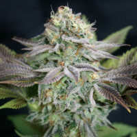 Blue Dream Feminised Cannabis Seeds | Garden of Green