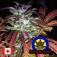 Blue Dynamite Regular Cannabis Seeds | Next Generation Seeds