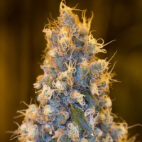 Blue Fire Feminised Cannabis Seeds | Humboldt Seeds Organisation