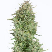 Blue Kush Auto Feminised Cannabis Seeds - Dinafem Seeds