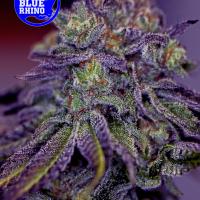 Blue Rhino Feminised Cannabis Seeds | Positronics