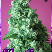Blue Rose Feminised Cannabis Seeds | Rockwell Seeds