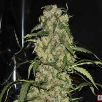 Blue Grape Dream Feminised Cannabis Seeds | GreenLabel Seeds
