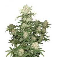 Blueberry Auto Feminised | Concrete Jungle Seeds