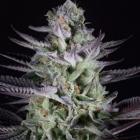 Blueberry Cookies Feminised Cannabis Seeds - Dinafem Seeds