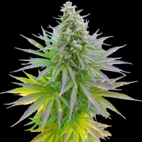 Blueberry Gum Feminised Cannabis Seeds