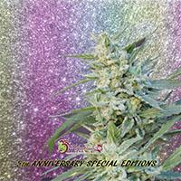 Blueberry Pot Tart Feminised Cannabis Seeds   Dr Krippling