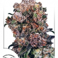 Blueberry Feminised Cannabis Seeds | Dutch Passion
