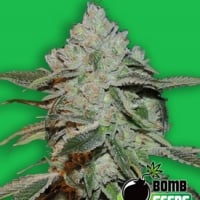 Bomb Seeds Atomic Feminised Cannabis Seeds For Sale