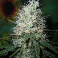 British Columbia Afghani Dream Cannabis Seeds