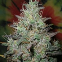 British Columbia Big Blue Cannabis Seeds