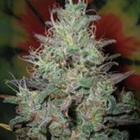 Big Blue Regular Cannabis Seeds | British Columbia