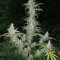 Cali Miss Regular Cannabis Seeds | British Columbia