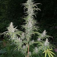 Cali Miss Regular Cannabis Seeds | British Columbia