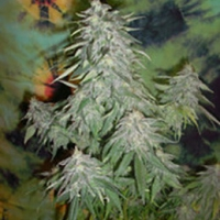 Buy British Columbia Super Kush Feminised Cannabis Seeds