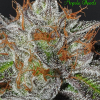 Bruce Banner #3 Feminised Cannabis Seeds - Anesia Seeds