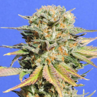 Bruce Banner #3 Feminised Cannabis Seeds | Original Sensible Seeds