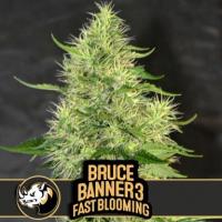 Bruce Banner #3 Fast Feminised Cannabis Seeds | Blimburn Seeds