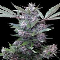 Bubba Kush x PCK Feminised Cannabis Seeds   Ace Seeds