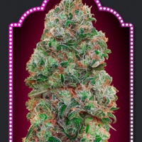 Bubble Gum Feminised Cannabis Seeds | OO Seeds