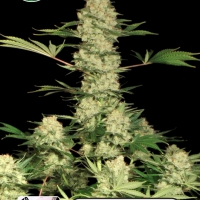 Bubblegum Auto Feminised Cannabis Seeds | Kera Seeds