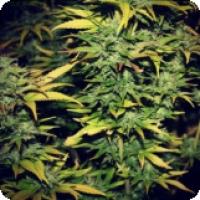 710 Genetics C99 Haze Feminised Cannabis Seeds