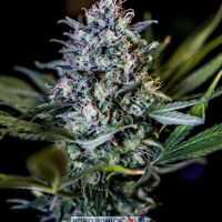 CBD Black Widow Feminised Cannabis Seeds | Positronics