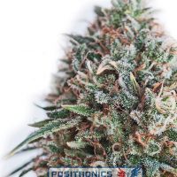 CBD Critical 47 Feminised Cannabis Seeds | Positronics