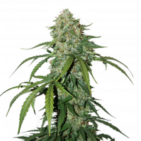 CBD 1:1 Silver Lime Haze Feminised Cannabis Seeds | Seed Stockers