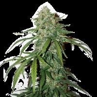 CBD 1:1 Silver Lime Haze Auto Feminised Cannabis Seeds   Seed Stockers