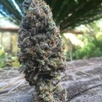 CBD Amnesia Feminised Cannabis Seeds | CBD Seeds