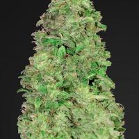 CBD Auto 20:1 Feminised Cannabis Seeds | Fast Buds