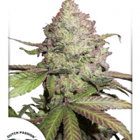 CBD Auto Charlotte's Angel Feminised Cannabis Seeds | Dutch Passion