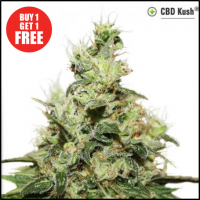 CBD Kush Feminised Cannabis Seeds | Dutch Passion