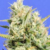 CBD Lemon AID Feminised Cannabis Seeds | Original Sensible Seeds
