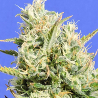 CBD Lemon AID Feminised Cannabis Seeds   Original Sensible Seeds