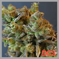 CBD Python Feminised Cannabis Seeds | Feminized Seeds