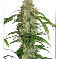 CBD Auto White Widow Feminised Cannabis Seeds | Dutch Passion