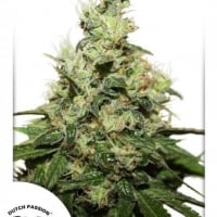Dutch Passion CBD Kush Cannabis Seeds