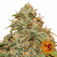 CBD Lemon Potion Auto Feminised Cannabis Seeds | Barney's Farm