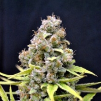 Shark Shock Feminised Cannabis Seeds