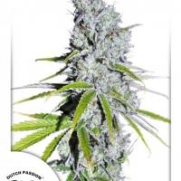 CBD Skunk Haze Feminised Cannabis Seeds | Dutch Passion